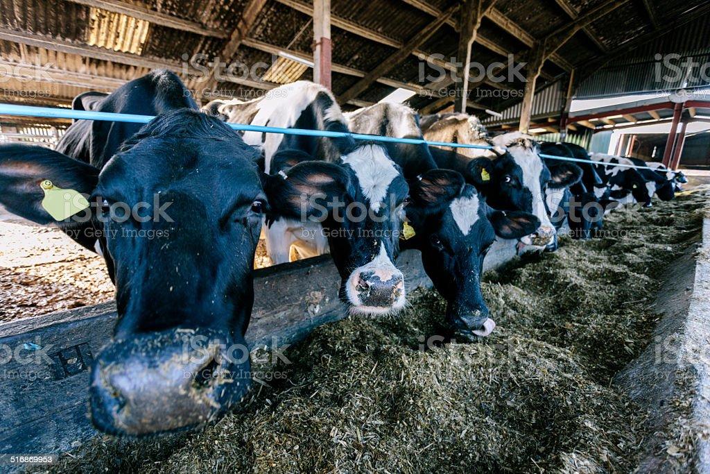 Devon Holsteins stock photo