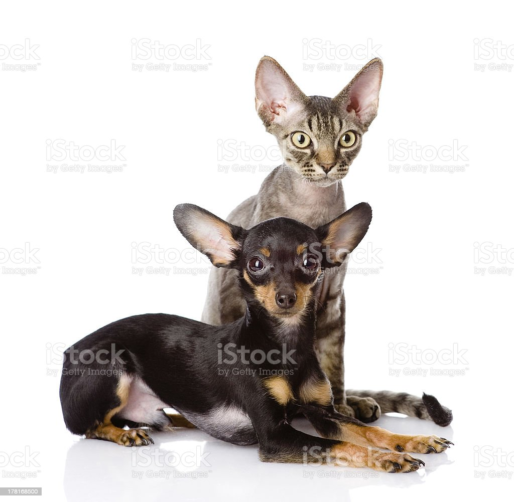 devon rex cat and toy-terrier puppy together royalty-free stock photo