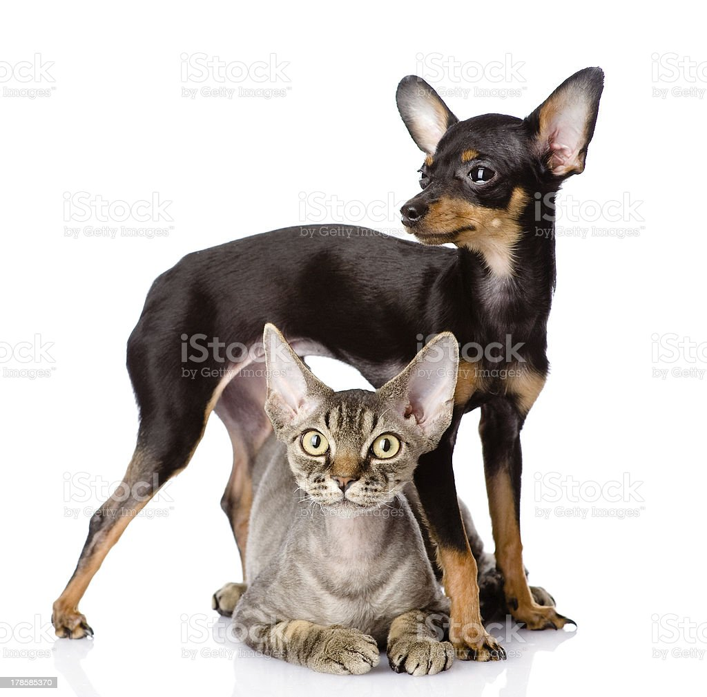 devon rex cat and toy-terrier puppy together. royalty-free stock photo