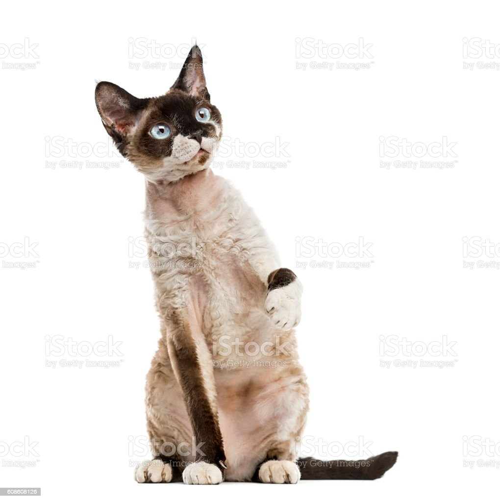 Devon rex pawing up isolated on white stock photo