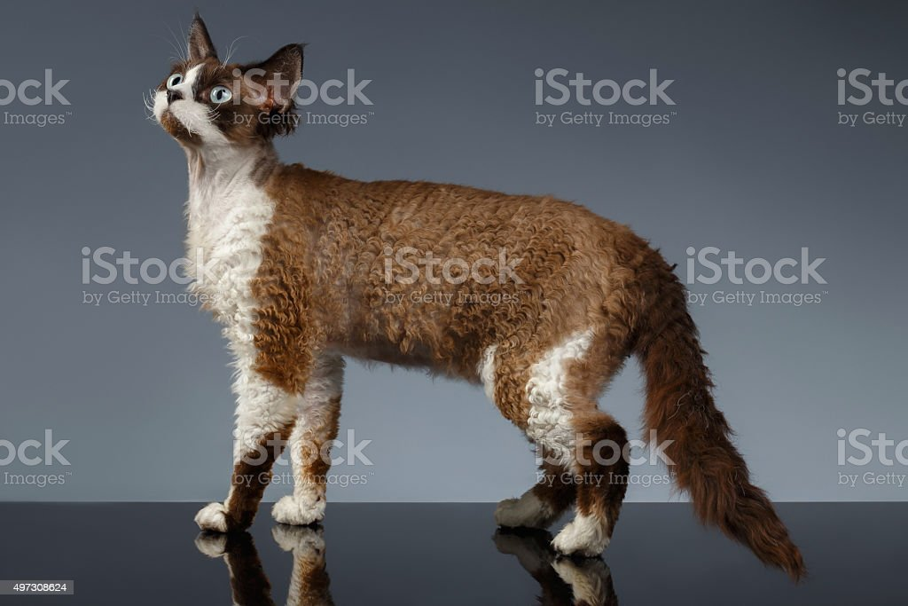 Devon Rex Stands in Profile view on Gray stock photo
