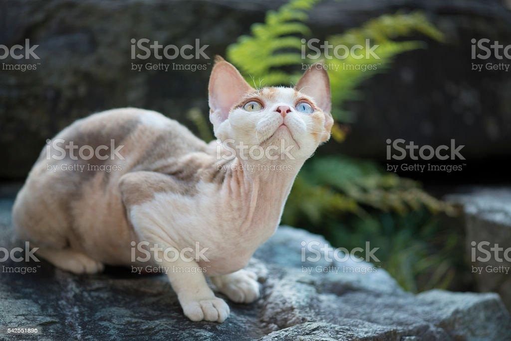 Devon-Rex kitten on a rock looking up stock photo