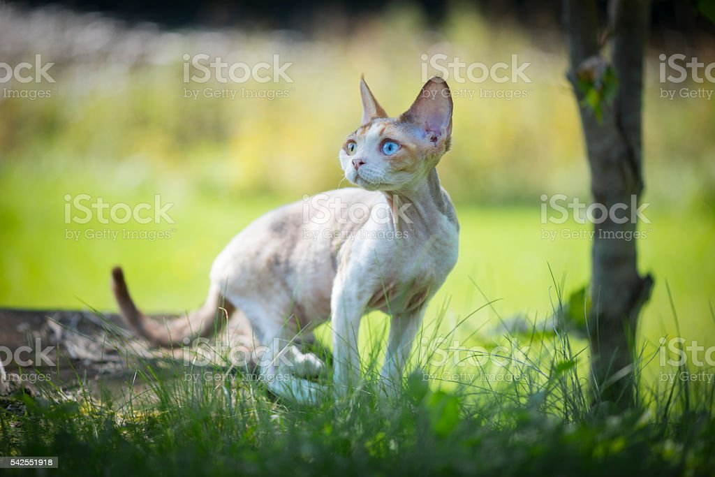 Devon-Rex kitten on a rock looking up stock photo