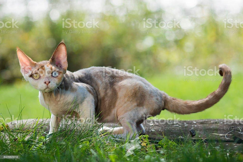 Devon-Rex kitten two colors eyes standing on a grass stock photo