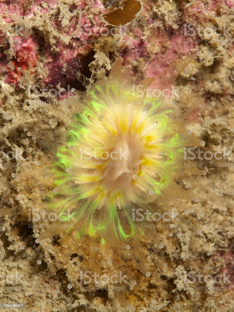 Devonshire cup coral - Caryophyllia smithii royalty-free stock photo