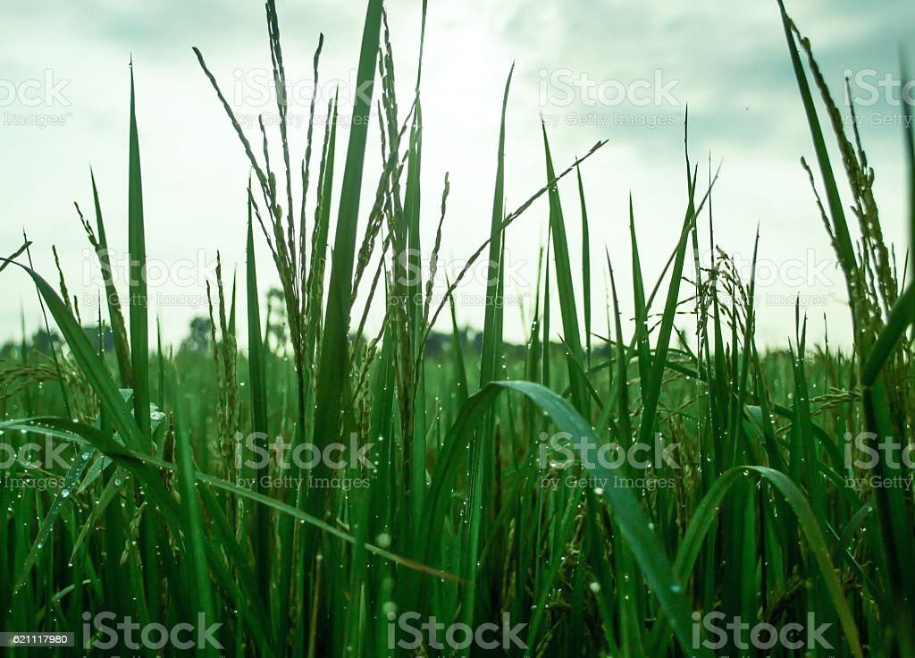 Dew atop rice royalty-free stock photo