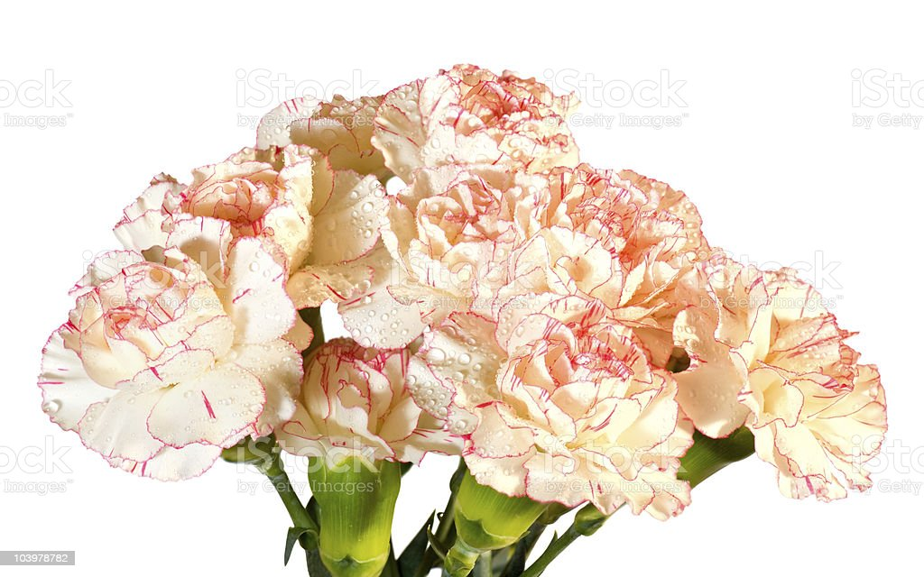 Dew carnation flowers bouquet royalty-free stock photo