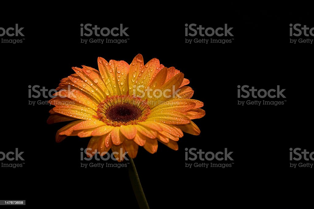 Dew Covered Daisy Isolated on Black royalty-free stock photo