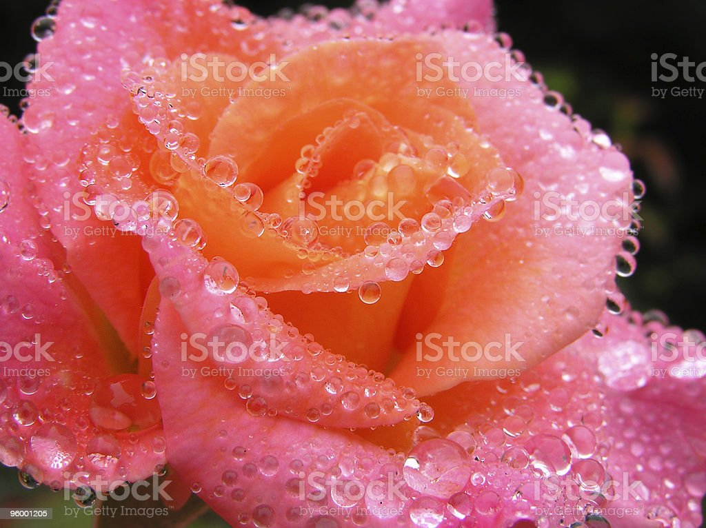 Dew Covered Rose royalty-free stock photo