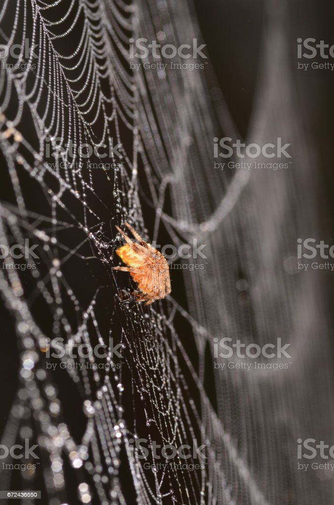 Dew covered spider on its soaked web stock photo