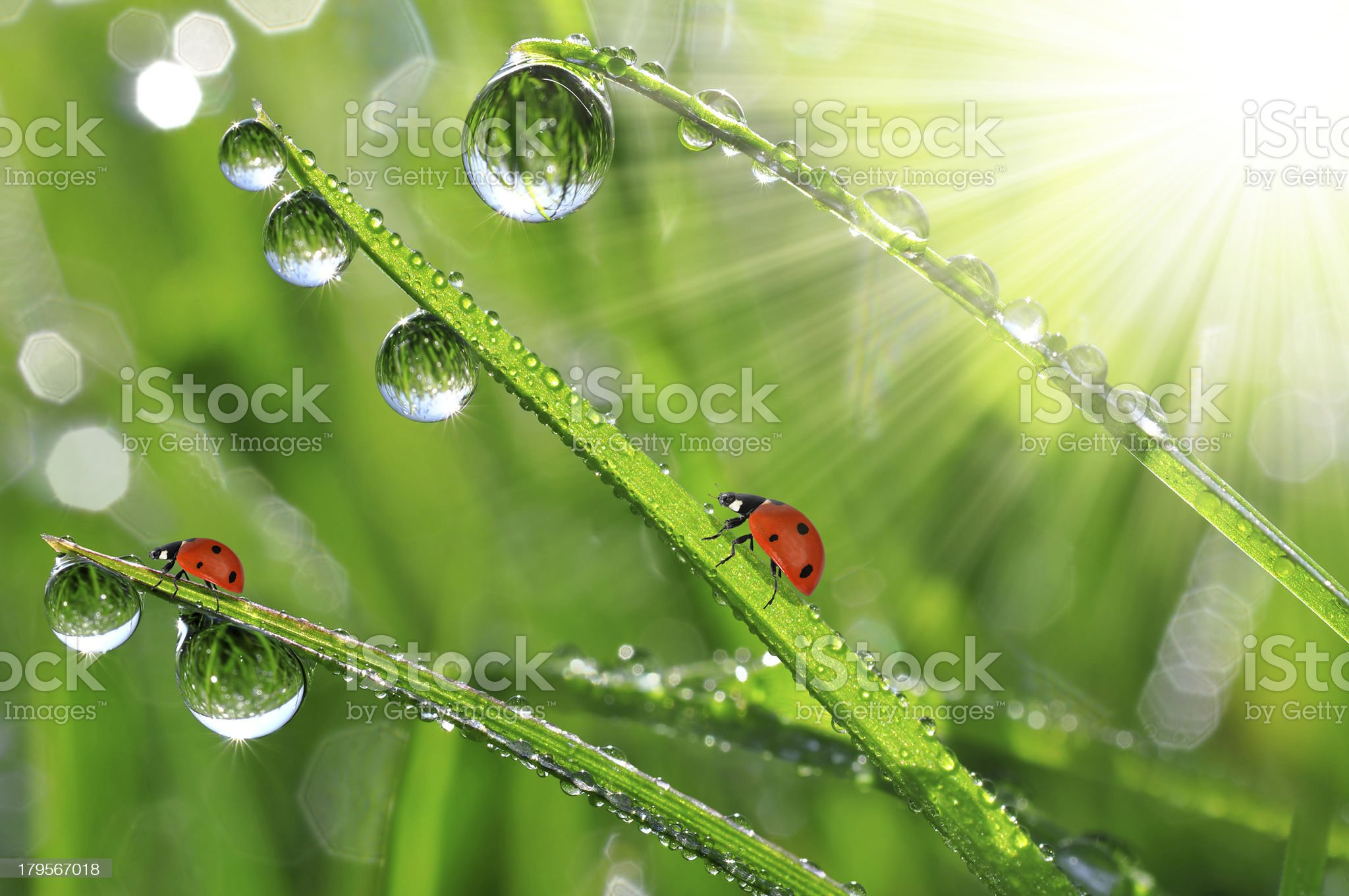 dew drop and ladybugs royalty-free stock photo