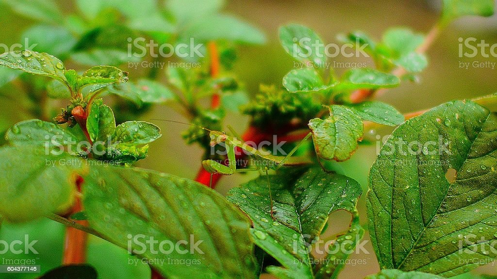 dew drop and mantis stock photo