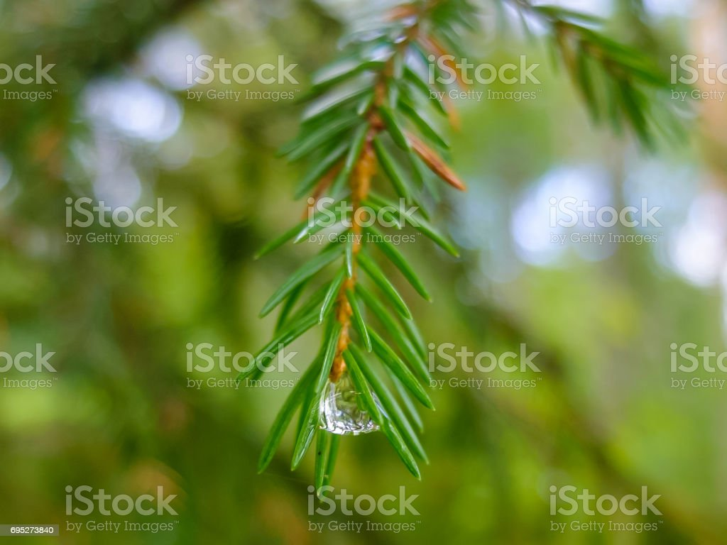 Dew drop on sneedles of spruce stock photo