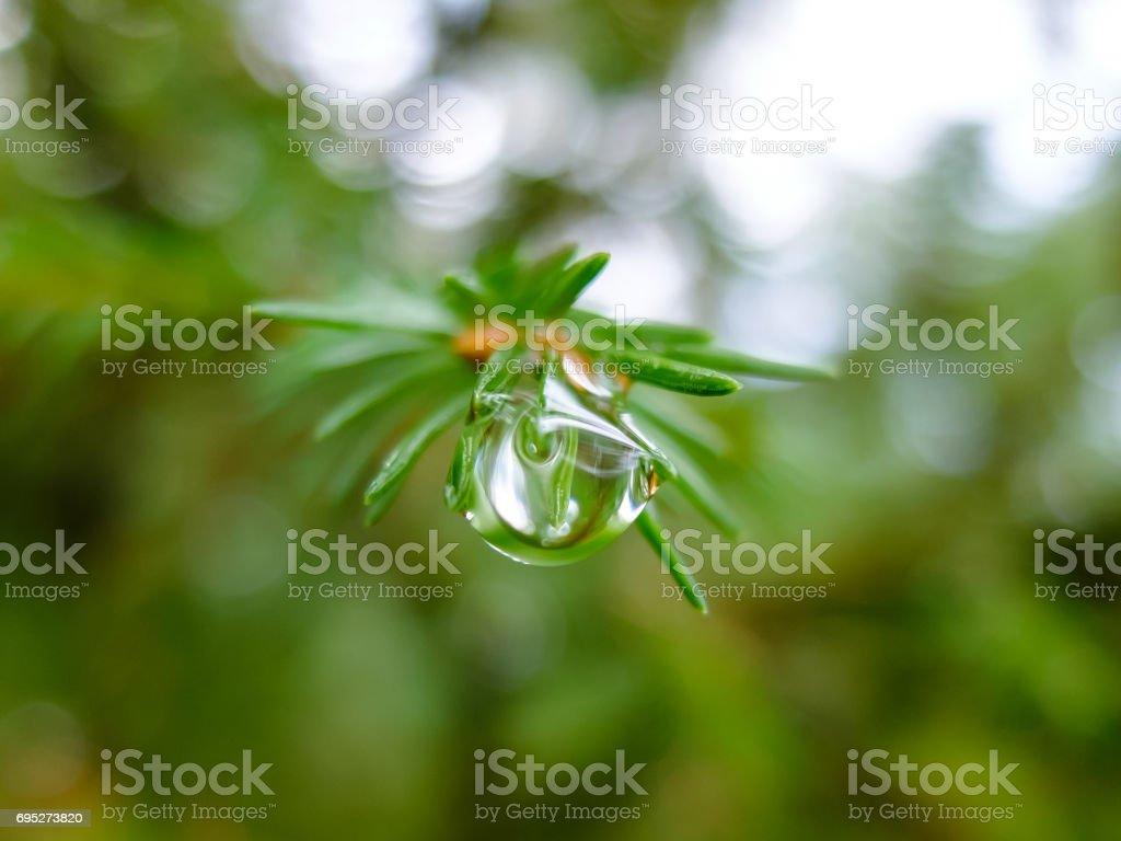 Dew drop on sneedles spruce stock photo