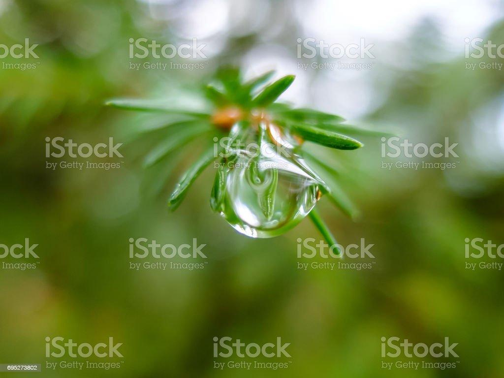 Dew drop on spruce macro stock photo
