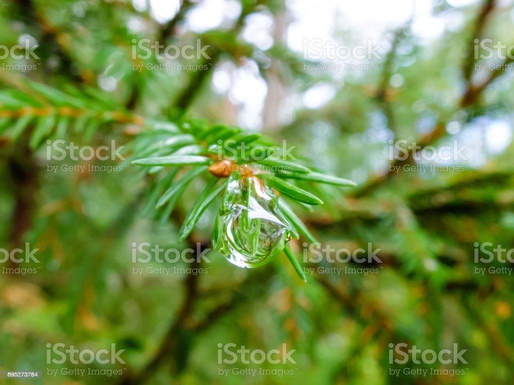 Dew drop on spruce stock photo
