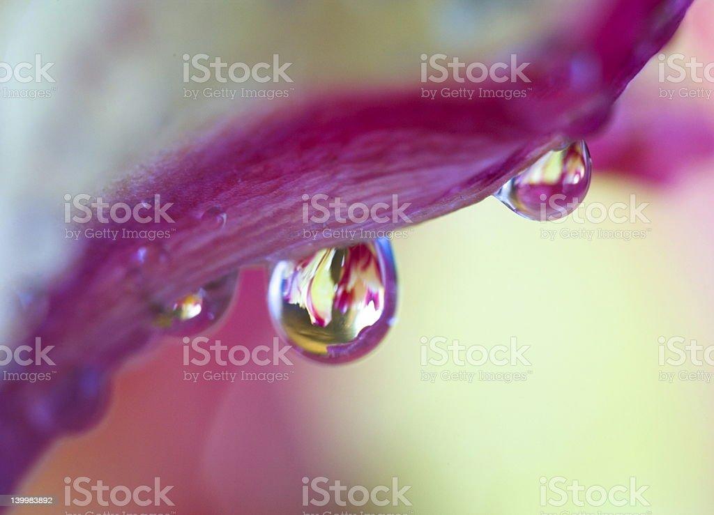 dew drop on tulip royalty-free stock photo