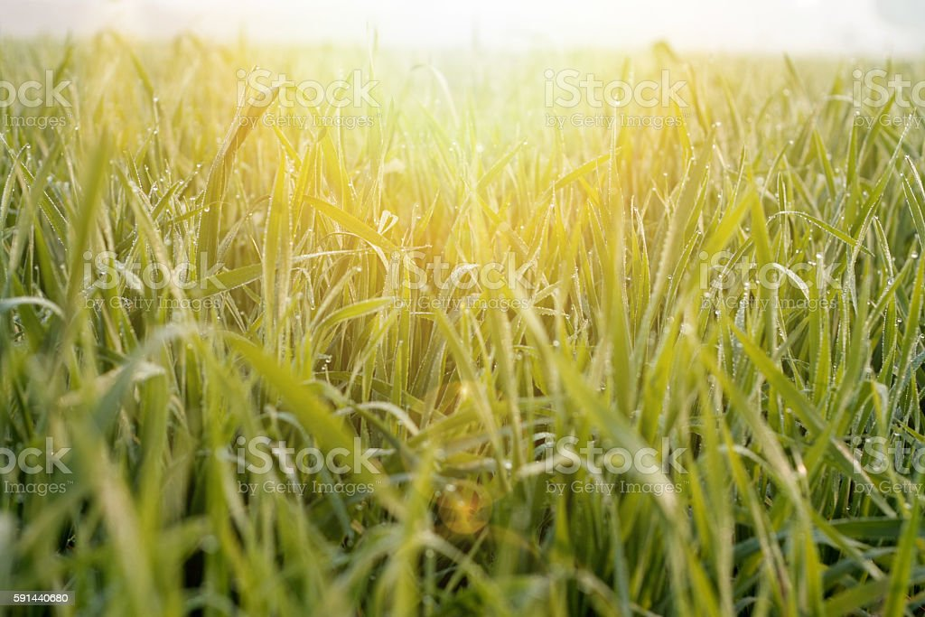 Dew Drop On Wheat stock photo