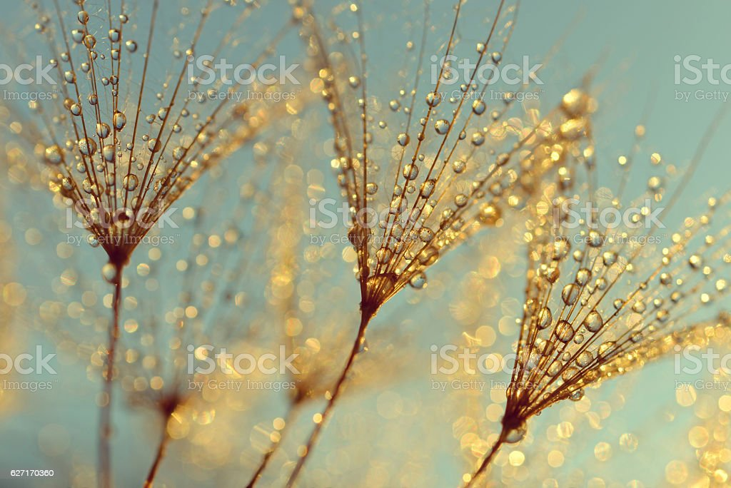 Dew drops on a dandelion seeds stock photo