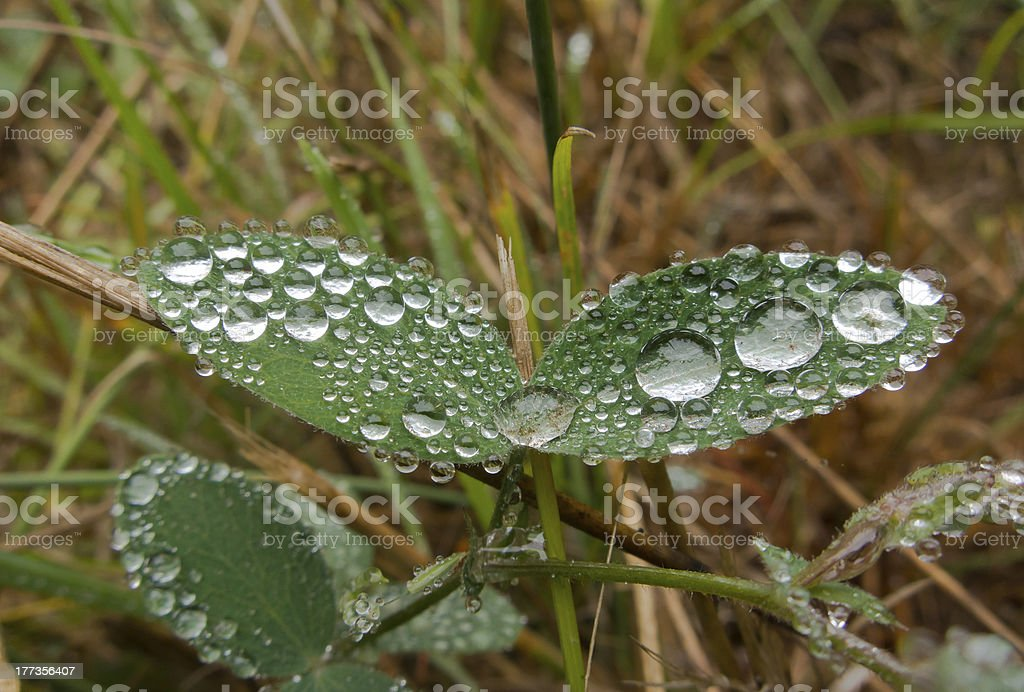 Dew Drops on a Pair of Leaves royalty-free stock photo