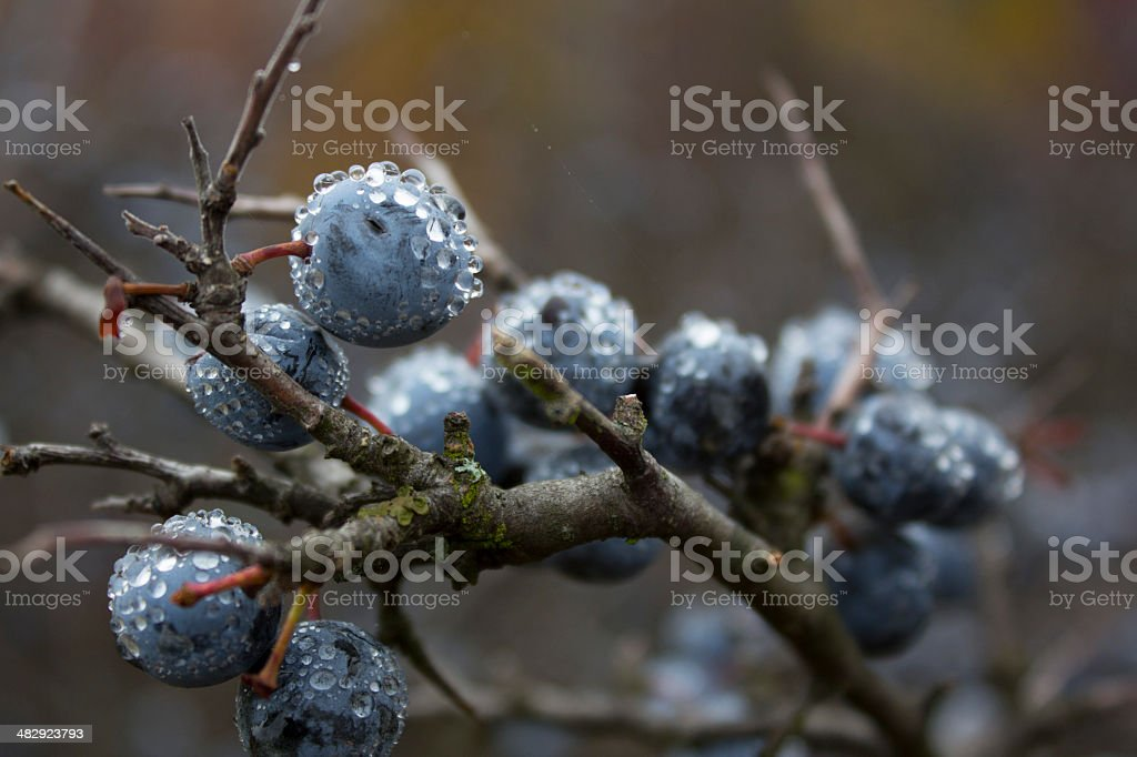 Dew Drops on Berries royalty-free stock photo