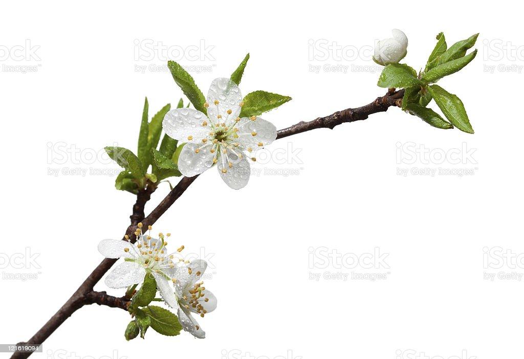 Dew drops on fruit-tree blossom royalty-free stock photo