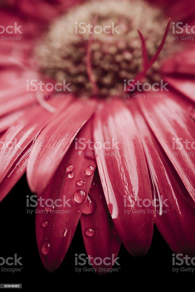 Dew drops on gerbera daisy stock photo