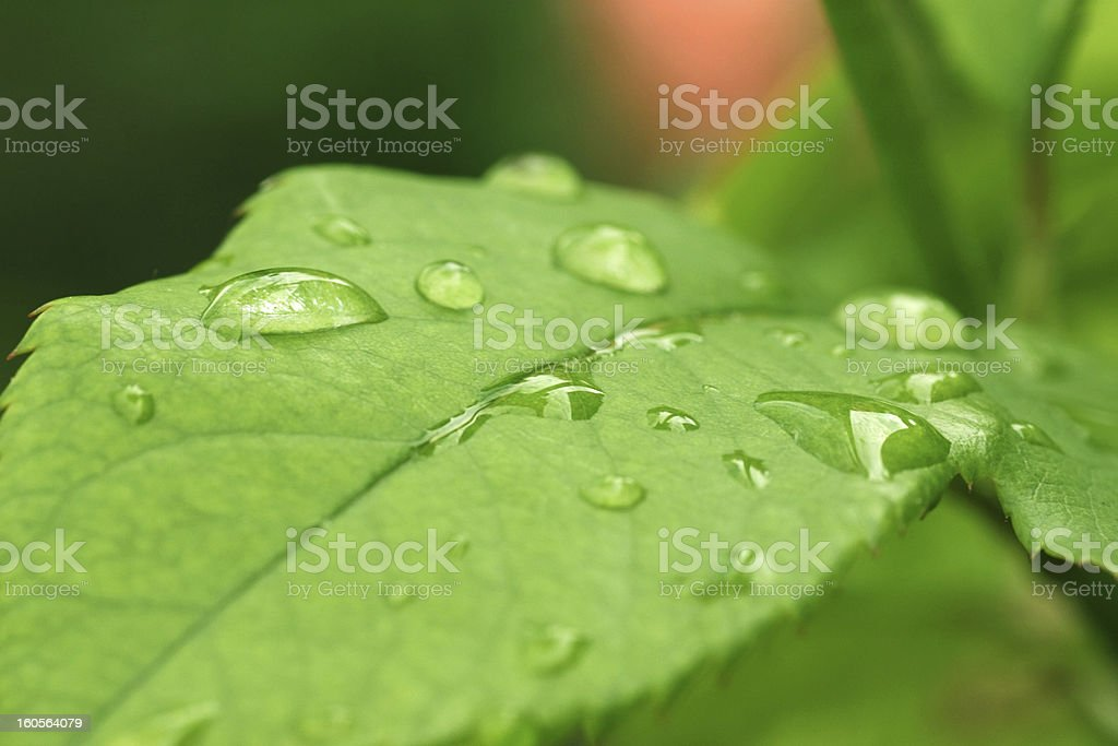 dew drops on green leaf royalty-free stock photo
