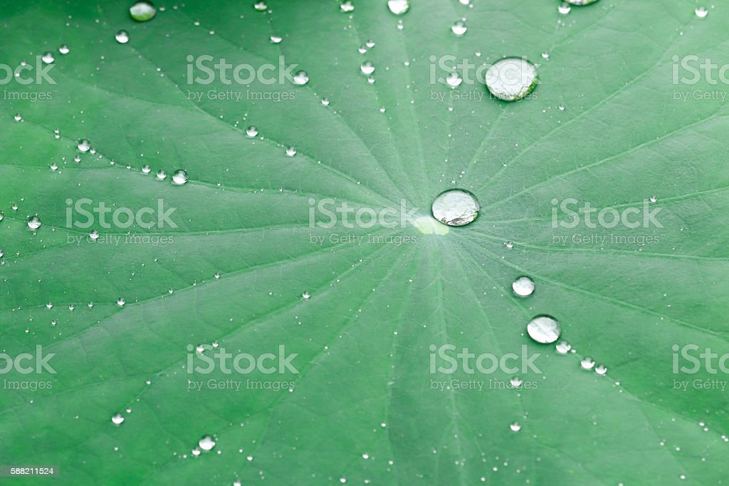 dew drops on lotus leaf stock photo
