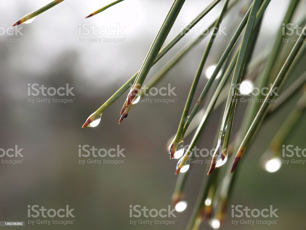 Dew Drops on Pine Needles royalty-free stock photo