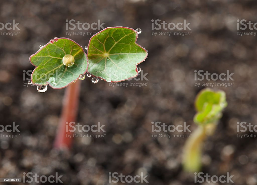 Dew drops on plantlet stock photo