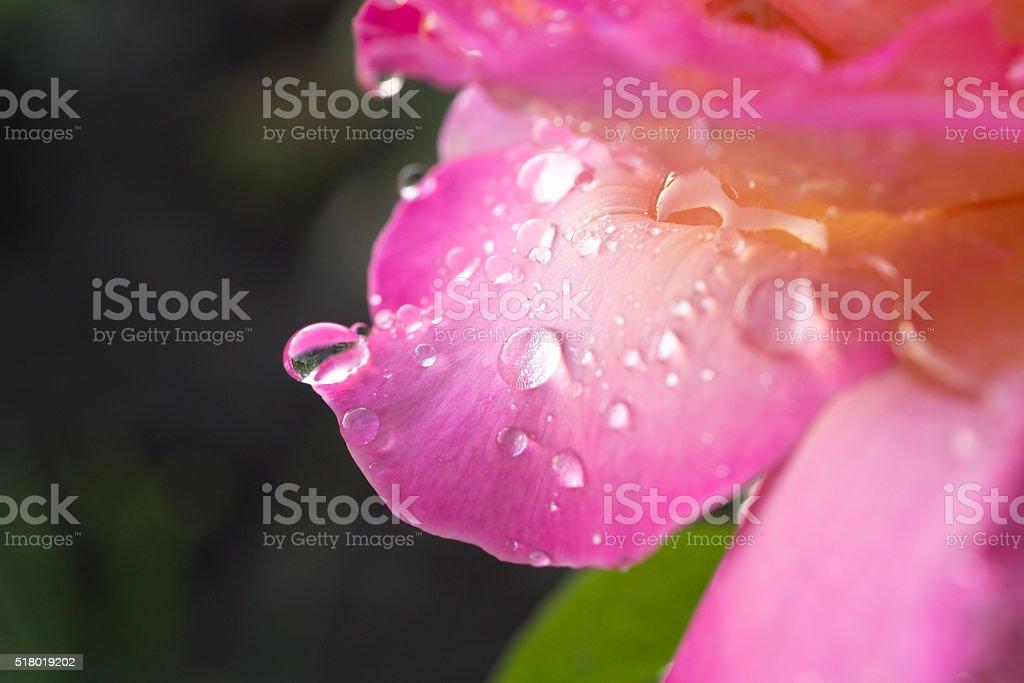 dew drops on rose petals stock photo