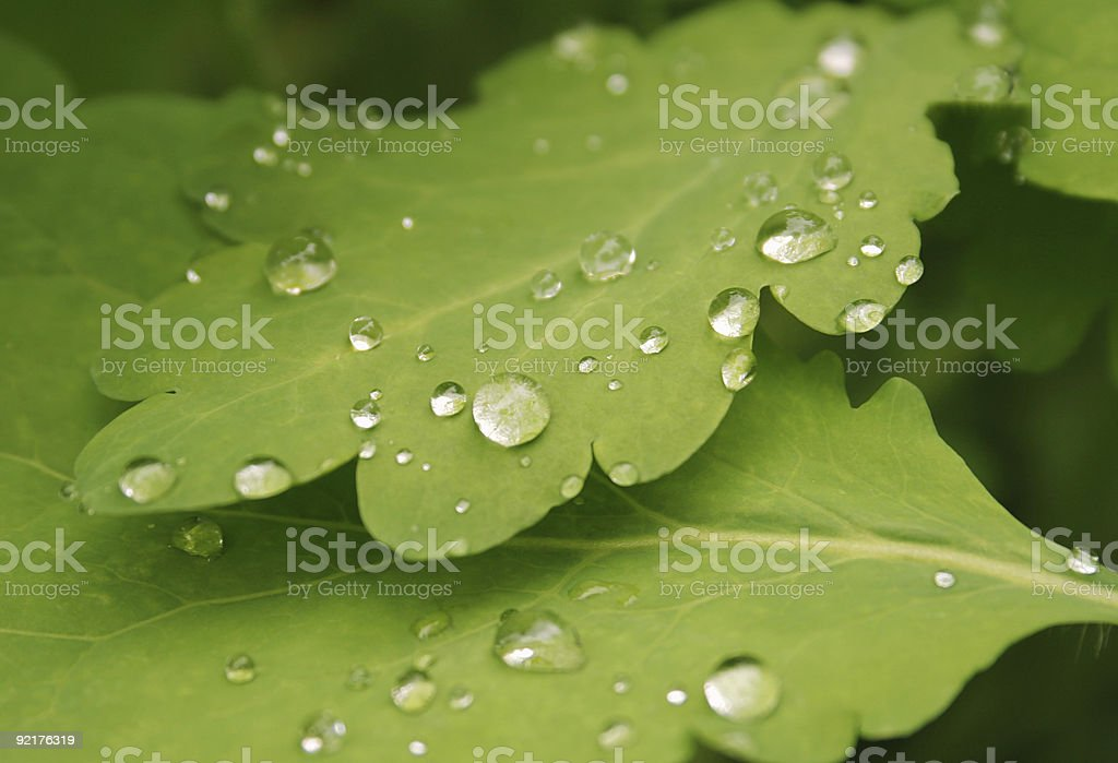 dew drops on the celandine leaves close up royalty-free stock photo