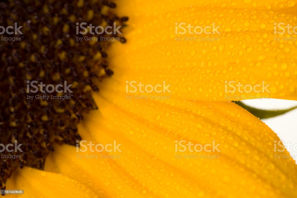 Dew drops over vivid yellow sunflower stock photo