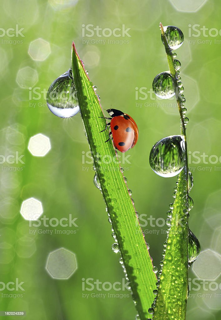 dew drops with ladybug royalty-free stock photo