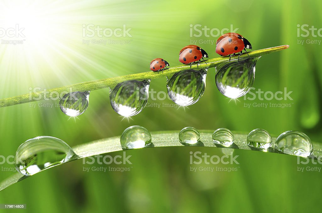dew drops with ladybugs royalty-free stock photo