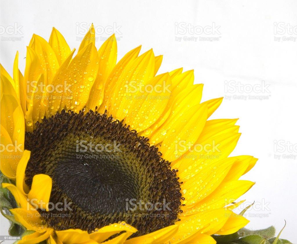 Dew Kissed Sunflower stock photo