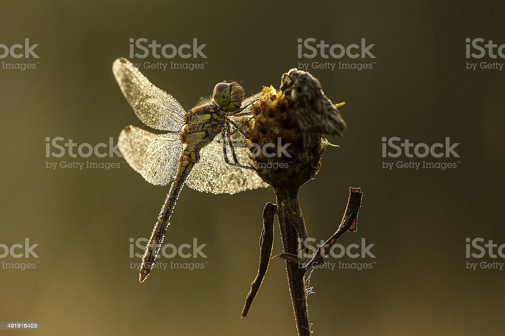 Dew on a dragonfly stock photo
