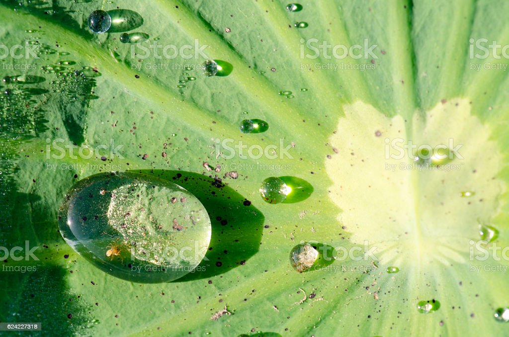 Dew on a lotus leaf stock photo