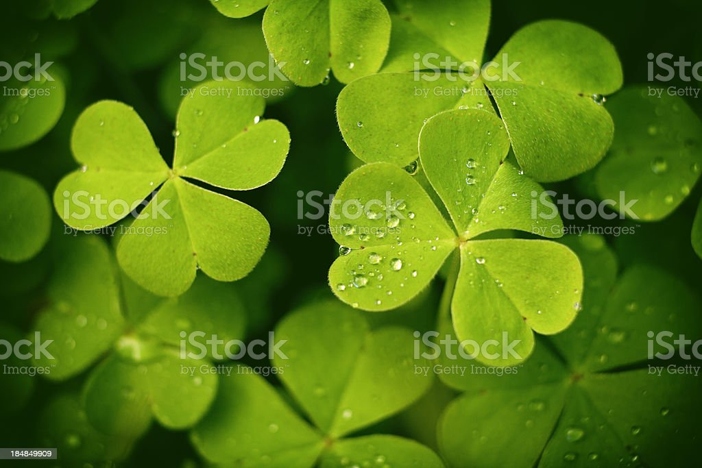 Dew on Clover Leaves stock photo