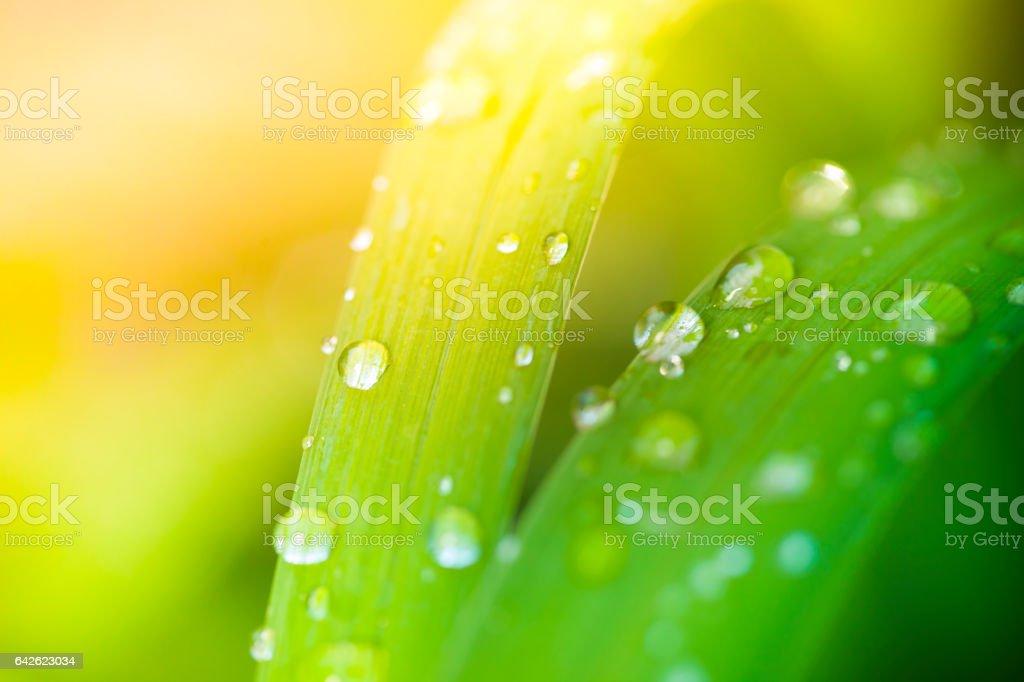 Dew on grass blades stock photo