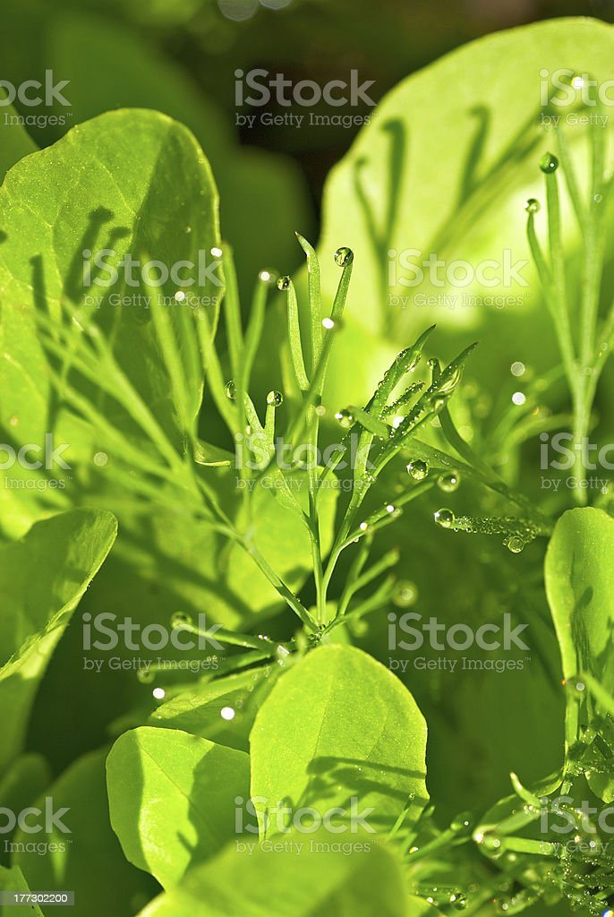 Dew on Green salad royalty-free stock photo