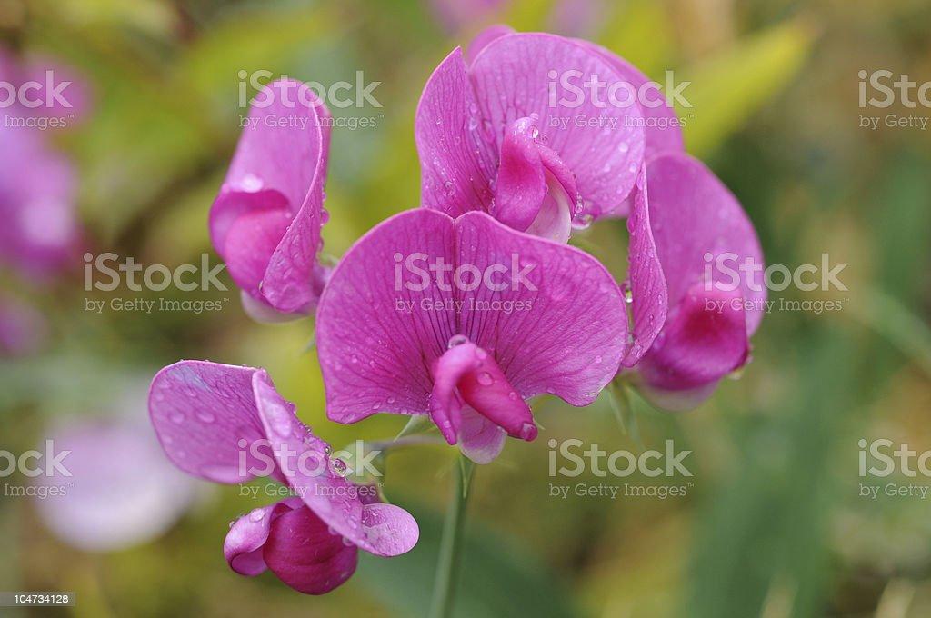 Dew on purple flowers royalty-free stock photo