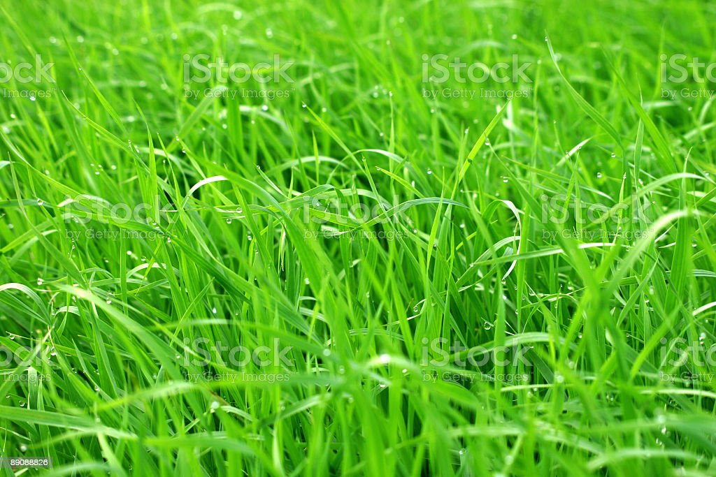 dew on the grass royalty-free stock photo