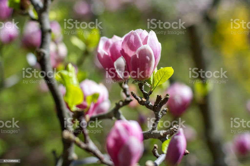 dew on the pink magnolia flowers stock photo