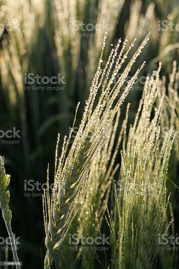 Dew on wheat head royalty-free stock photo