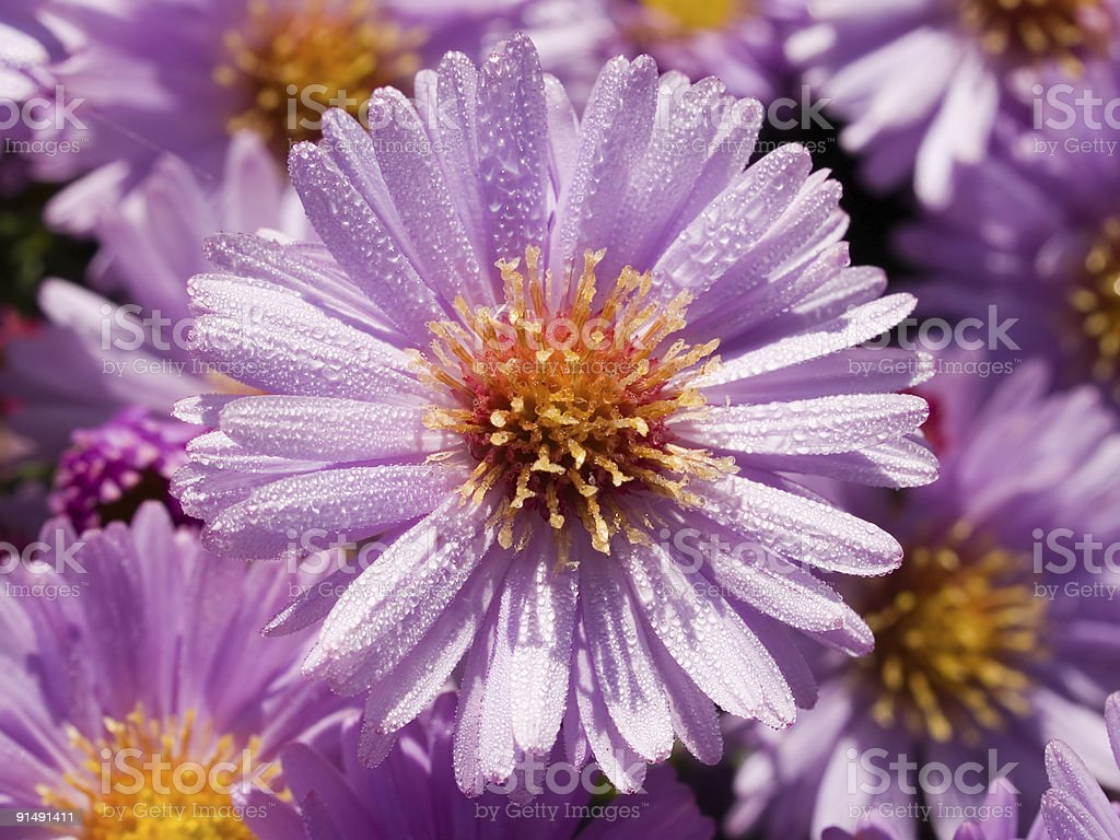 dew violet camomile daisy floral background royalty-free stock photo