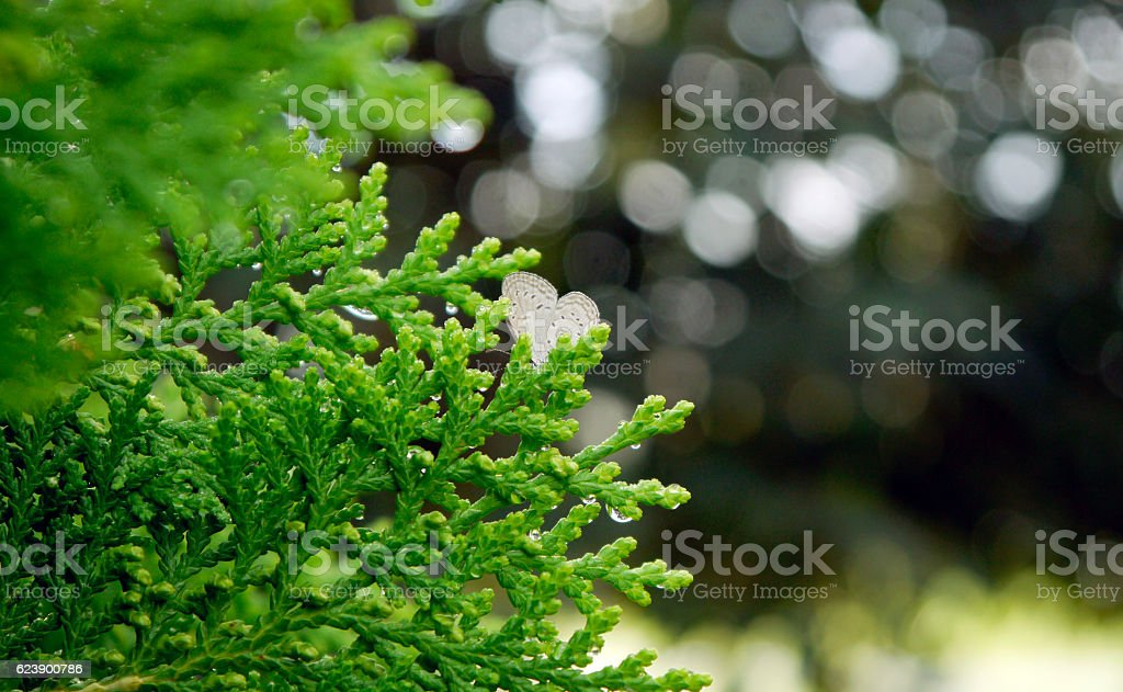 Dewdrop and Butterfly hold on Platycladus orientalis stock photo