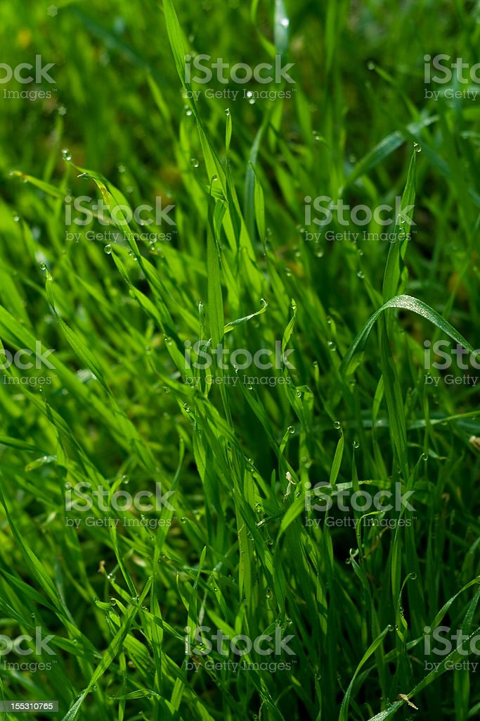 Dewdrops on Blades of Grass royalty-free stock photo