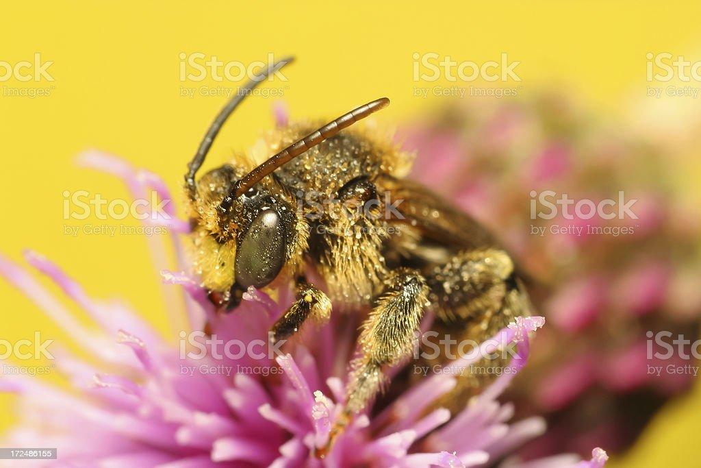 Dewy Bumblebee Sitting on Flower Head royalty-free stock photo